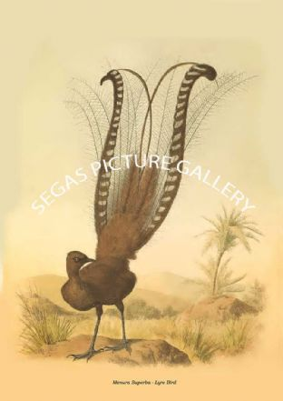 Menura Superba - Lyre Bird